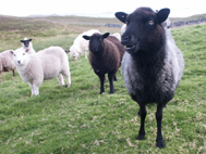 Native Shetland Sheep at Hammarsland croft.