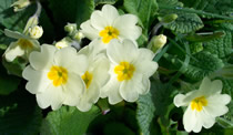 May floors / primrose