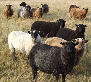Organic Shetland sheep grazing