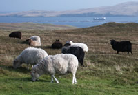 Native Shetland sheep grazing